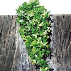 Plantă de terariu TerraPlanta Congo Efeu  - 50cm